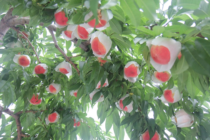 桃いっぱい730